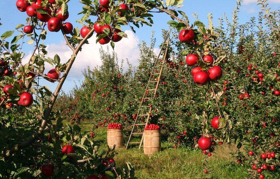 Ochrona jabłoni przed chorobami